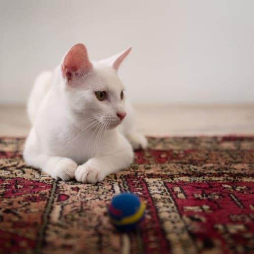Juro - Oriental Cat
