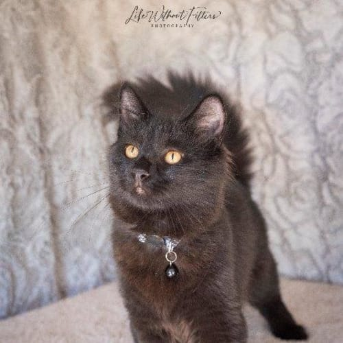 Frazer - Domestic Medium Hair Cat