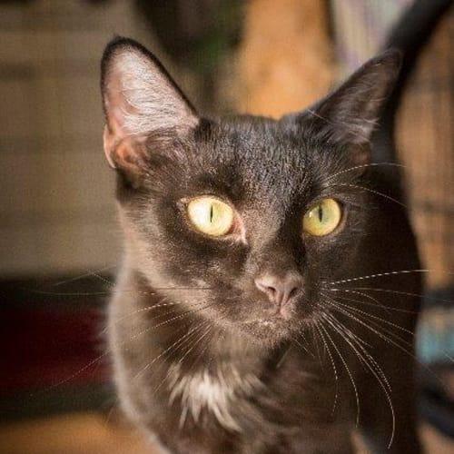 Tabias - Domestic Short Hair Cat