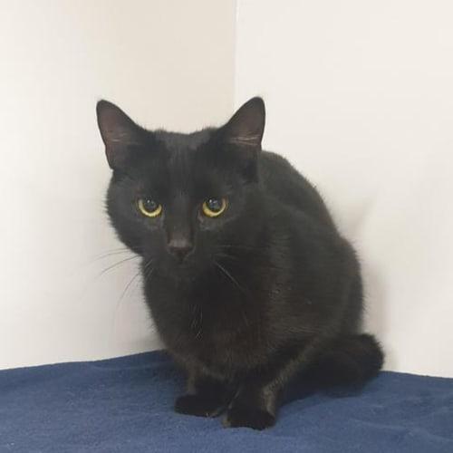 Brinley - Domestic Short Hair Cat