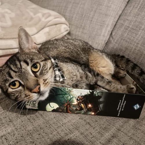 Inigo - Domestic Short Hair Cat
