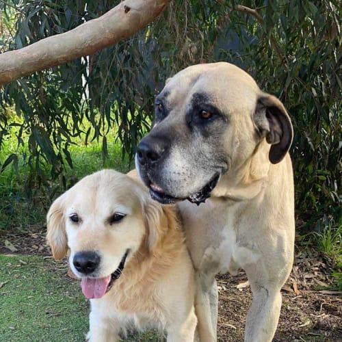 Loki & Pax - Golden Retriever Dog