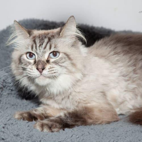 2054 – Pawdrey Hepburn - Ragdoll Cat