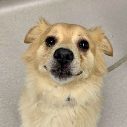 Party - Pomeranian Dog