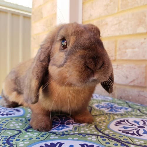 Floyd *On Trial* - Dwarf lop Rabbit