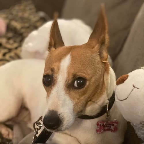Betty Boop - Fox Terrier Dog