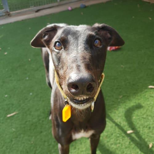 Yogi - Greyhound Dog