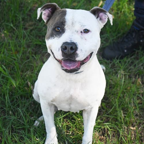 Bailey 32460 Campbelltown ACF  - American Staffordshire Bull Terrier Dog
