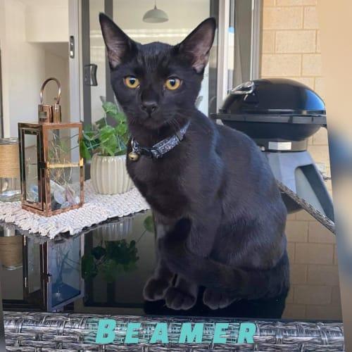 Beamer - Domestic Short Hair Cat