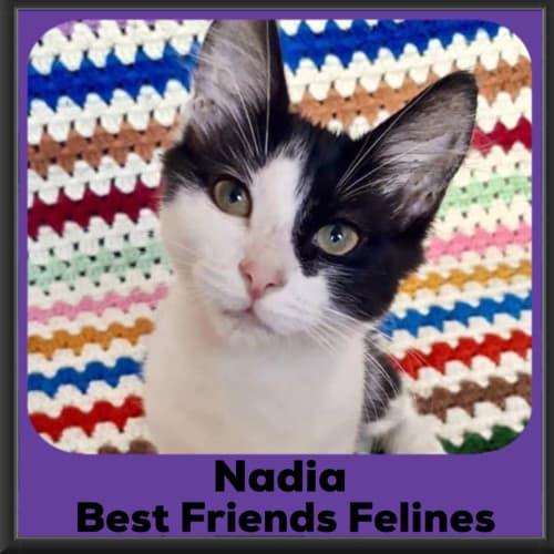 Nadia  - Domestic Medium Hair Cat