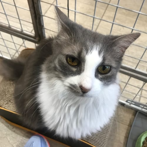 Cheeky  - Domestic Medium Hair Cat