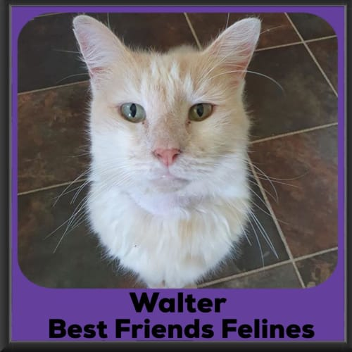 Walter  - Domestic Long Hair Cat