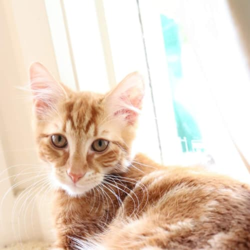 Elf - Domestic Medium Hair Cat