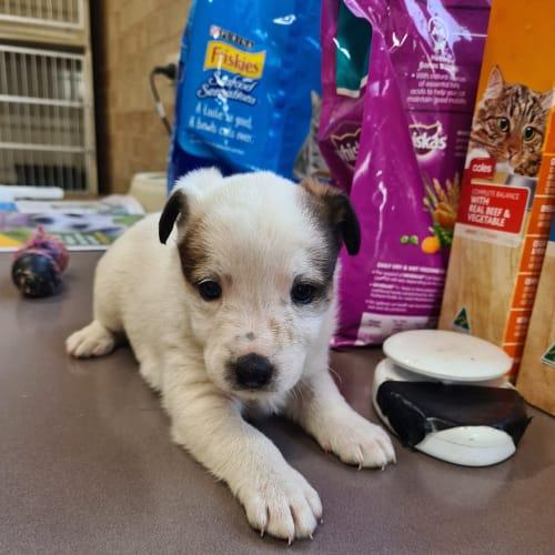 Fergie - Fox Terrier Dog