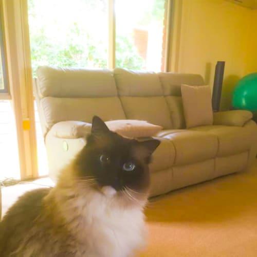 Willow  - Ragdoll Cat