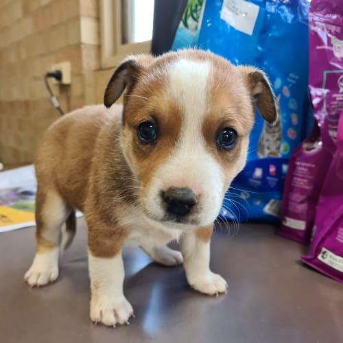 Lucy - Fox Terrier Dog