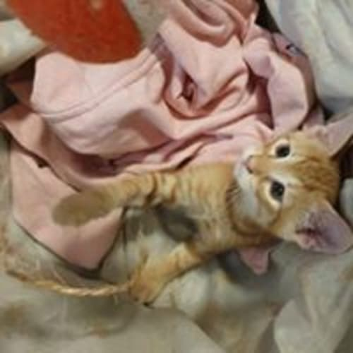 Brando - Domestic Short Hair Cat