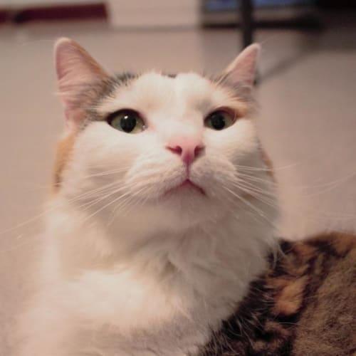 Padme - Domestic Medium Hair Cat