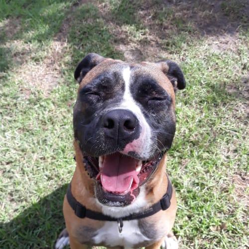 Katy - American Staffordshire Bull Terrier Dog