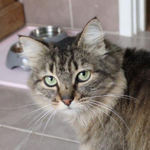 Tiger - Domestic Medium Hair Cat