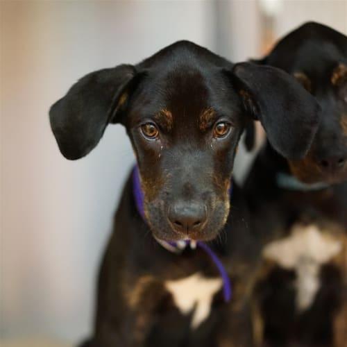 Kahlua - Great Dane x Rottweiler Dog
