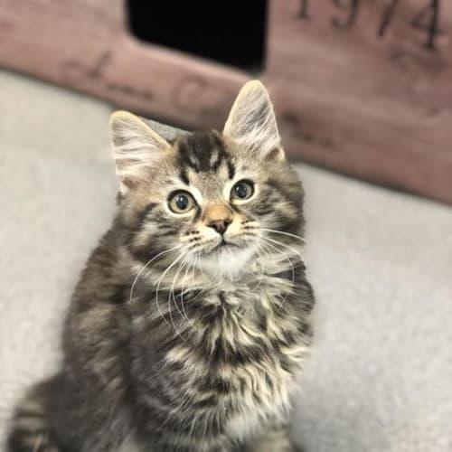 Axel - Domestic Medium Hair Cat