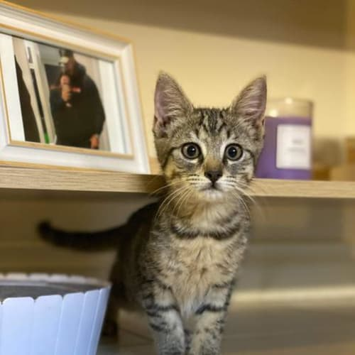 Alba - Domestic Short Hair Cat