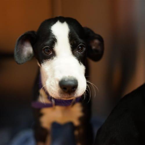 Vegemite - Great Dane x Rottweiler Dog