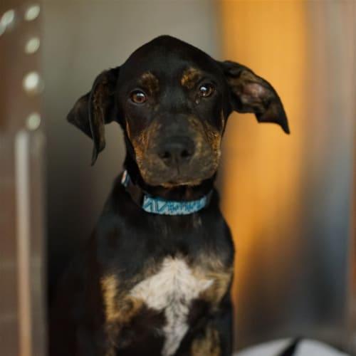 Sambucca - Great Dane x Rottweiler Dog