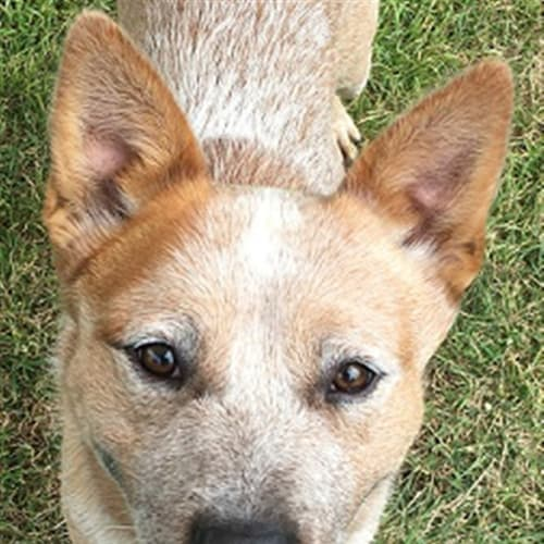 Rocket - Australian Cattledog