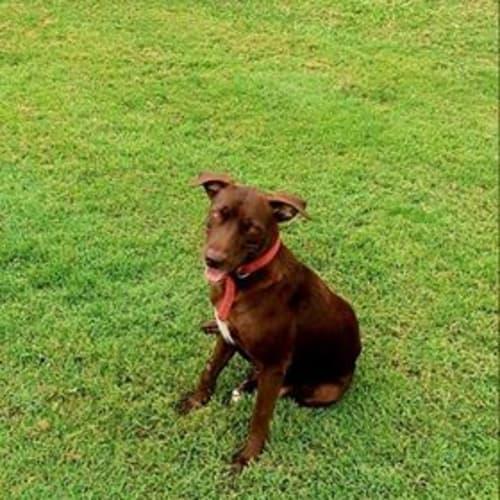 Davina - Kelpie Dog