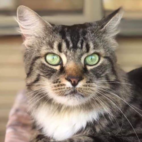 Sally - Domestic Medium Hair Cat
