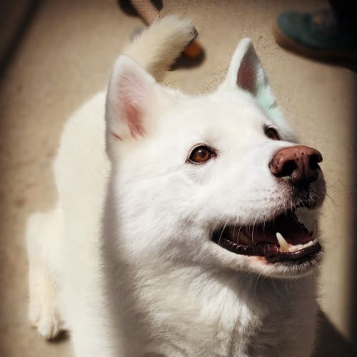 Bear - Siberian Husky x Samoyed Dog