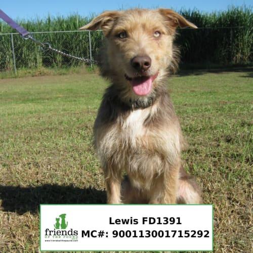 Lewis - Wolfhound Dog