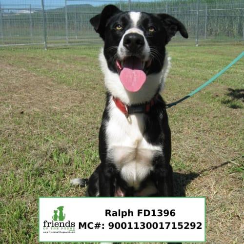 Ralph - Border Collie Dog