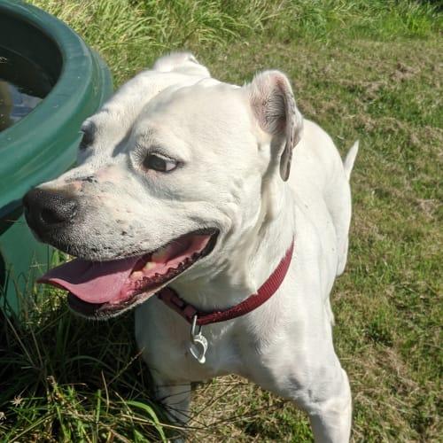 Xena - American Bulldog