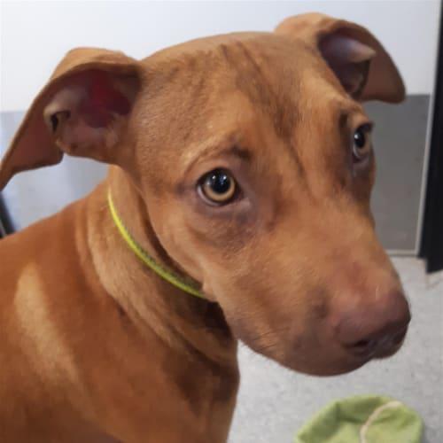 Flop - American Staffordshire Bull Terrier Dog
