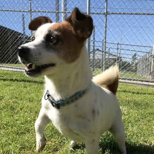 Gretel - Jack Russell Terrier Dog