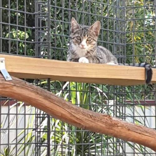2673 – Hudson - Domestic Short Hair Cat