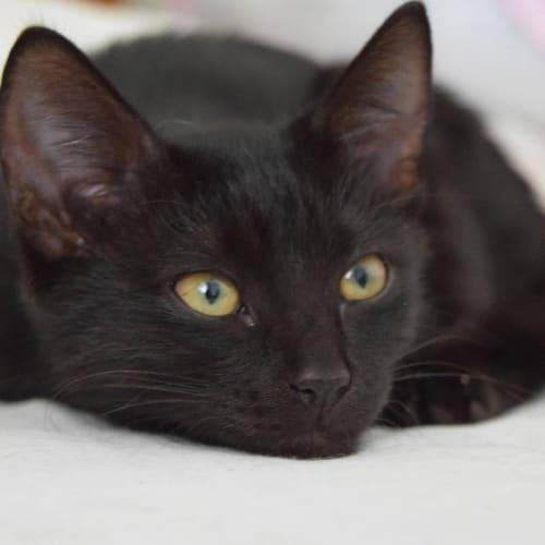 2544 - Baghera - Domestic Short Hair Cat