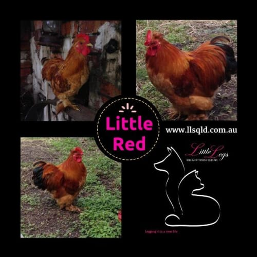 Little Red - Bantam Chicken