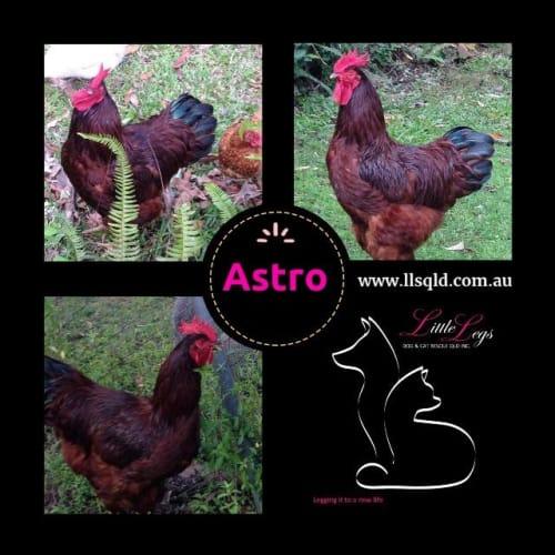 Astro - Chicken