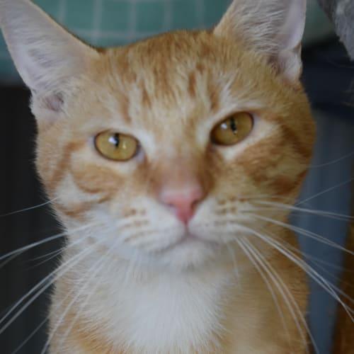 Ginger Boy - Domestic Short Hair Cat