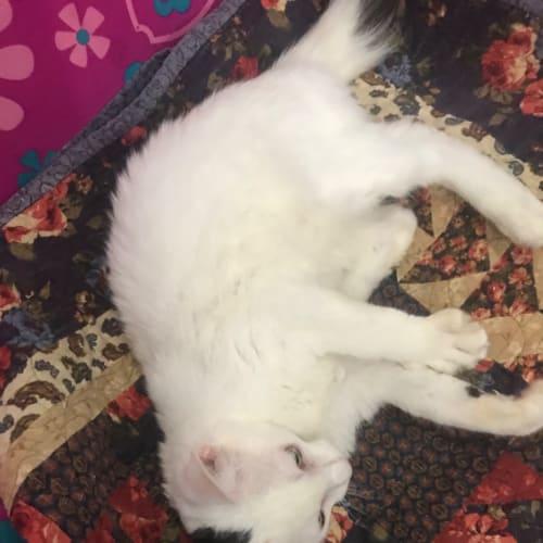 Teddy - Domestic Medium Hair Cat