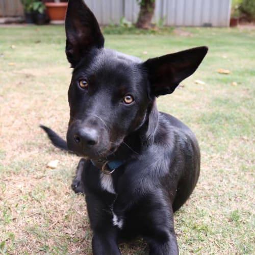 Flynn - Kelpie Dog