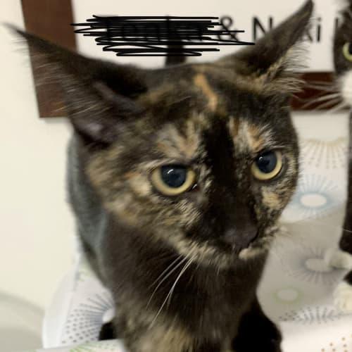 Skate - Domestic Short Hair Cat