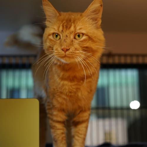 Reagan - Domestic Medium Hair Cat