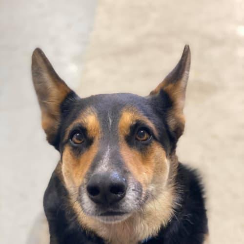 Sorin - Blue Heeler x German Shepherd Dog