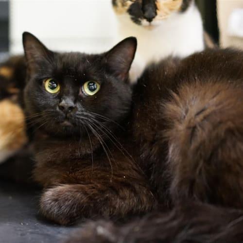 Khosheka - Domestic Medium Hair Cat