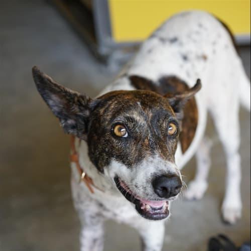 Foxy - Australian Cattle Dog